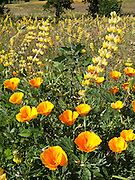 The California poppy (Eschscholzia californica) is the official state flower of California, USA.