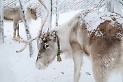Reindeer at Samiland, Levi, Finnish Lapland on 11th February 2018. Samiland is a cultural museum celebrating the culture, history and present day of the Sami, the only indigenous people in the European Union