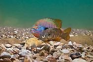 Longear Sunfish Spawning<br /> <br /> Isaac Szabo/Engbretson Underwater Photo