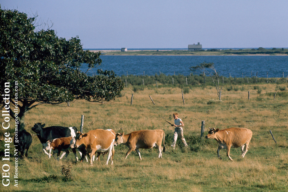 A boy walks with his dairy cows past a pond at milking time.