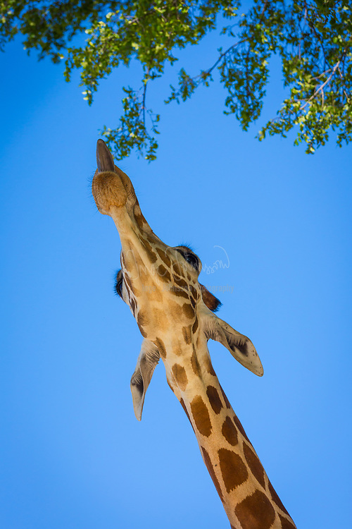 The giraffe is an African even-toed ungulate mammal, the tallest living terrestrial animal and the largest ruminant.
