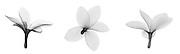 X-ray of a plumeria flower
