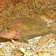 Hairy Blenny Complex inhabit shallow inshore habitats from rocky shore lines to patch reefs in Tropical West Atlantic; picture taken  Blue Heron Bridge, Palm Beach, FL.