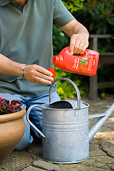Adding liquid tomato feed to a watering can for feeding plants in containers or grow bags