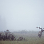 Elk (Cervus canadensis) bull in a foggy meadow during the late summer in Wyoming.