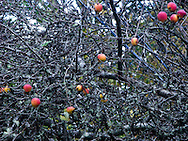 apples still left on tree after harvest in old apple orhcard