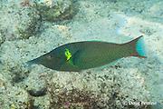 bird wrasse, or Hinalea-'akilolo, Gomphosus varius, terminal phase male, or supermale, Kahalu'u Beach, Kahaluu Beach Park, Keauhou, Kona, Hawaii ( Big Island ), Hawaiian Islands ( Central Pacific Ocean )