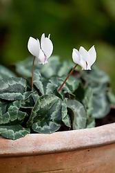 Cyclamen hederifolium 'Amaze Me White 'growing in a terracotta pot