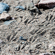 Penguin footprints in the course sand in a narrow beach at Neko Harbour in Antarctica.