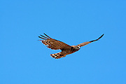 Short-toed Snake Eagle (Circaetus gallicus) in flight with a blue sky background. This bird of prey is found throughout the Mediterranean basin, Russia and the Middle East, and parts of Asia. Photographed in Carmel mountain, israel in July