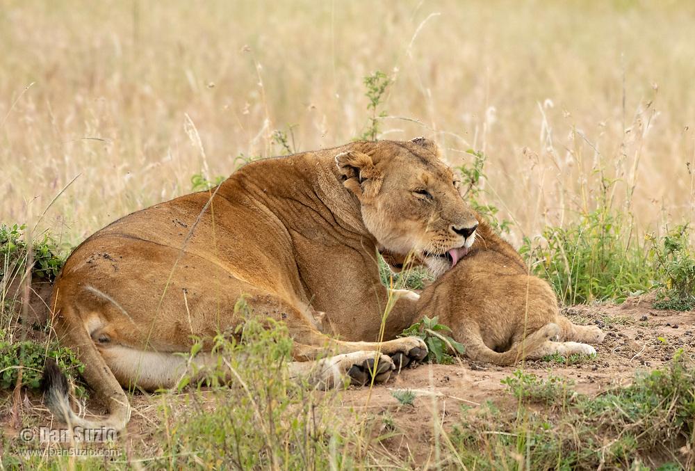 A female Lion, Panthera leo  melanochaita, grooms her cub in Maasai Mara National Reserve, Kenya