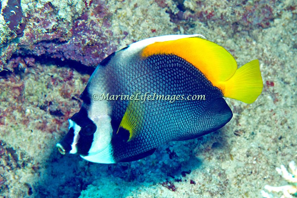 Singular Bannerfish inhabit reefs. Picture taken Fiji. 2011 Fiji  Gau.