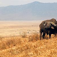 Africa, Tanzania, Ngorongoro Crater. African Buffalo.
