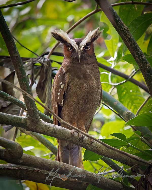Crested Owl on a day roost in Costa Rica.