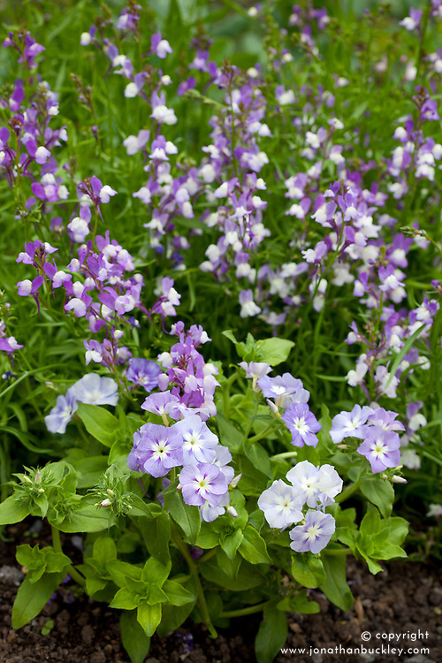 Linaria maroccana 'Licilia Azure' with Phlox drummondii 'Lavender Beauty'. Toadflax with annual phlox
