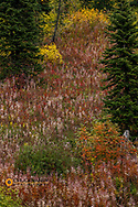 Fireweed and underbrush in autumn hues in the Jewel Basin hiking Area of the Flathead National Forest, Montana, USA