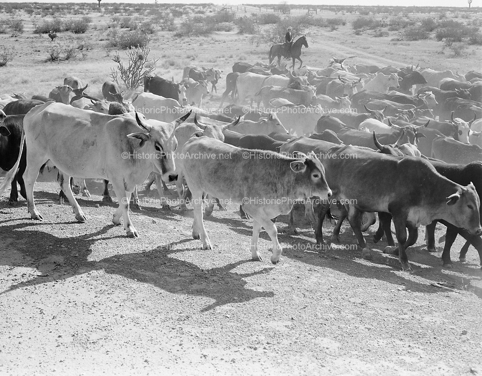 "0301-319A. ""Cattle Roundup. Douglas Ranch"" on the Hassayampa River, Arizona, about 15 miles from Wickenburg. The land is 36 square miles and was recently annexed to the city of Buckeye."