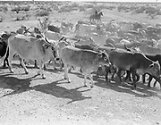 """0301-319A. """"Cattle Roundup. Douglas Ranch"""" on the Hassayampa River, Arizona, about 15 miles from Wickenburg. The land is 36 square miles and was recently annexed to the city of Buckeye."""