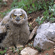 Great Horned Owl, (Bubo virginianus) Fledgling, have just left nest. Bridger mountains. Montana.