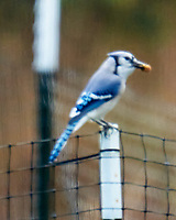 Blue Jay. Image taken with a LeicaSL2 camera and Sigma 150-600 mm sport lens.