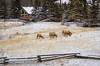 A scenic landscape image of a herd of Bighorn Sheep grazing in a field in protected habitat between Canmore and Exshaw.<br /> <br /> ©2012, Sean Phillips<br /> http://www.RiverwoodPhotography.com