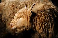 """Highland cattle or kyloe (Bos primigenius taurus), originate from Scotland and the Hebrides. A small, robust and long-living cattle breed with long wavy coats which are coloured reddish brown, mostly black in the past. Less common is a gray-brown, brindle and white coat. The cattles are right for free-range husbandry.Often their faces are covered with lang hairs, Biederbach, Baden-Wuerttemberg, Germany.This picture is part of the series """"Creature's Coiffure""""..Schottisches Hochlandrind (Highland Cattle oder auch Kyloes) (Bos primigenius taurus)  .Stammt aus Schottland und den Hebriden. Es ist eine kleinwuechsige, robuste und langlebige Rinderrasse. Sie hat ein dichtes und langes Haarkleid. Heute ist das typische Langhaarfell rot-braun; frueher gab es ueberwiegend schwarze Tiere. Weniger haeufig ist ein grau-braunes, gestromtes und weisses Fell. Sie eignen sich gut für die ganzjaehrige Freilandhaltung. Oft sind ihre Gesichter von langen Haarstraehnen zugewachsen, so dass sie schon eine Sichtbehinderung darstellen. Biederbach, Baden-Wuerttemberg, Deutschland.Dieses Bild ist Teil der Serie ,,Die Frisur der Kreatur"""""""