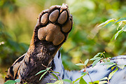 The back paw of a wild Bengal tiger sleeping in the forest, Ranthambore National Park, Rajasthan, India