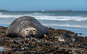 Mother and baby elephant seal (Mirounga leonina) from Sea Lion Island, the Falkland Islands.