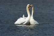 Mute Swan, Cygnus olor, Stodmarsh National Nature Reserve, UK, displaying, open water, adult, male, female, winter, bonding, love