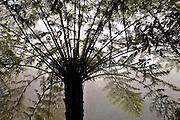 Tree Ferns in the Mist