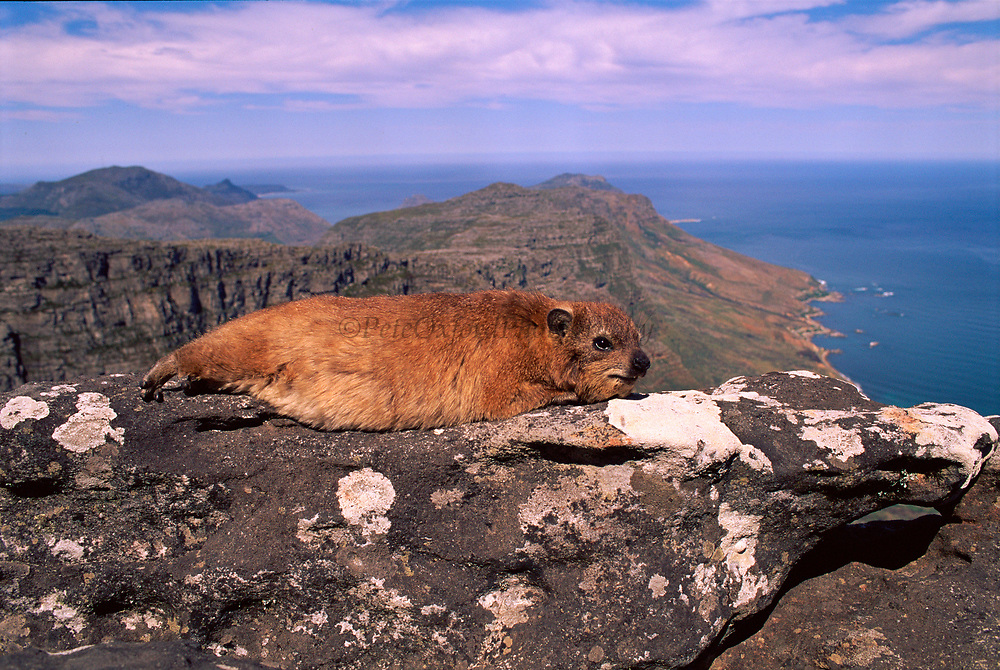 Rock hyrax (Procavia capensis) Cape Point NP, South Africa.
