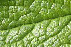 Close up of leaf of Russian Comfrey,