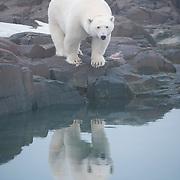 A polar bear on land. Svalbard, Norway