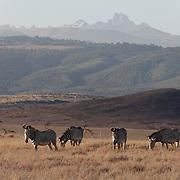 Grevy's zebra (Equus grevyi) grazing beneath Mount Kenya. Lewa Wildlife Conservancy, Kenya, Africa