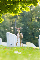 A doe stops for a quick pose next to the headstones
