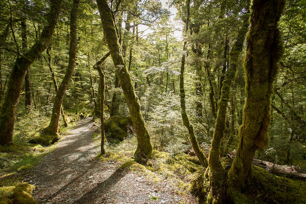 View of a footpath in a lush green forest along the hiking trail near the beginning of the Routeburn Track from the Routeburn Shelter, South Island, New Zealand