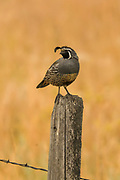 Male California quail perched on a fencepost