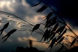 erba selvatica al tramonto