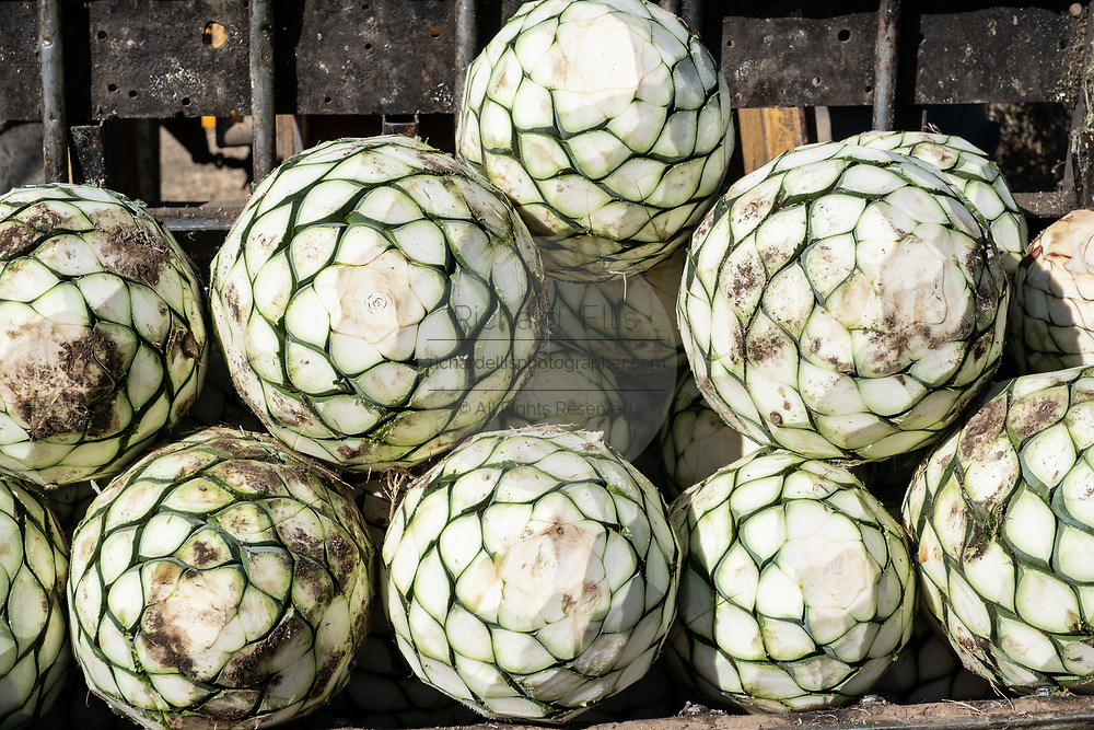 Blue agave pineapple-like cores are loaded onto a truck after being harvested in a field owned by the Siete Leguas tequila distillery in the Jalisco Highlands of Mexico. Siete Leguas is a family owned distillery crafting the finest tequila using the traditional process unchanged since for 65-years.