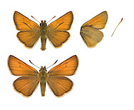 Small Skipper - Thymelicus sylvestris - male (top) - female (bottom). Wingspan 25mm. An active butterfly with a buzzing flight. Fond of sunbathing with its wings held at an angle; often visits thistles and knapweed flowers. Adult has orange-brown upperwings and orange-buff underwings. Brown underside to antennal tip distinguishes it from similar Essex skipper. Flies July–August. Larva is nocturnal and feeds on various grasses. A common and widespread meadow species.