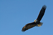 Bald Eagle, Haliaeetus leucocephalus, flying, Kenai Peninsula, Homer Spit, Homer, Alaska. Digital original #2006_1056 ©Robin Brandt
