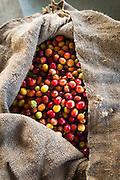 Harvested coffee cherries in a burlap sack, Kona Coast, The Big Island, Hawaii