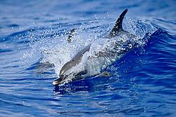 pantropical spotted dolphins, Stenella attenuata, wake-riding, Kona Coast, Big Island, Hawaii, USA, Pacific Ocean