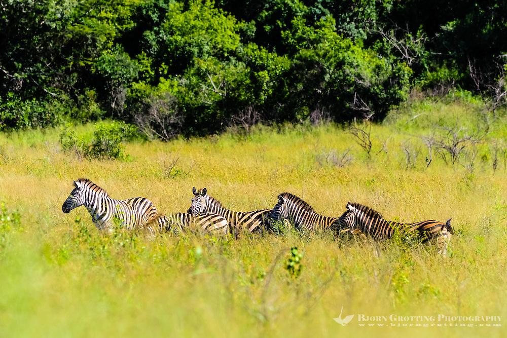 Plains Zebra. Hluhluwe-Umfolozi Game Reserve, South Africa.