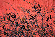 A flock of Great-Tailed Grackles are silhouetted against the red Lighthouse of Commerce or Faro de Comercio monument in the Macroplaza square in the Barrio Antiguo neighborhood of Monterrey, Nuevo Leon, Mexico. The modernist monument was designed by Mexican architect Luis Barragan and built to commemoration the100th anniversary of the Monterrey Chamber of Commerce.