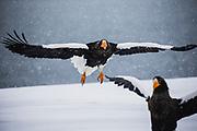 Two Steller's sea eagles (Haliaeetus pelagius) in a snow storm, Raisa, Hokkaido, Japan