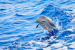 Pantropical Spotted Dolphin calf, Stenella attenuata, jumping out of boat wake, off Kona Coast, Big Island, Hawaii, Pacific Ocean