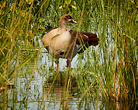Egyptian Goose. Chobe river, Botswana.  Image taken with a Nikon 1 V3 camera and  70-300 mm VR lens.