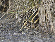 Jack Snipe - Lymnocryptes minimus. L 18-20cm. Dumpy wader. Much smaller than Snipe, with shorter bill and legs, and more striking head and back markings. Pumps body up and down as it walks. Easy to overlook: plumage is cryptic and bird is very reluctant to fly. Sexes and ages are similar. Adult and juvenile have mainly brown upperparts with intricate, cryptic dark feather markings. Note striking yellow stripes on back; greenish sheen sometimes discerned. Head is has dark and pale buff stripes, including forked, pale supercilium. Neck and breast are streaked and underparts are white. Voice Mostly silent. Status Non-breeding visitor in small numbers. Favours muddy margins of pools and marshes, where tangled dead rush and grass stems match its cryptic plumage.