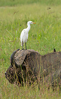 A Cattle Egret, Bubulcus ibis, perches on the head of a Cape Buffalo, Syncerus caffer caffer, in Lake Nakuru National Park, Kenya